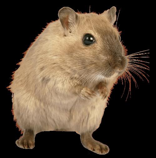 rat-md
